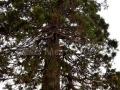 52-Sequoia-giganthea-Ardusat