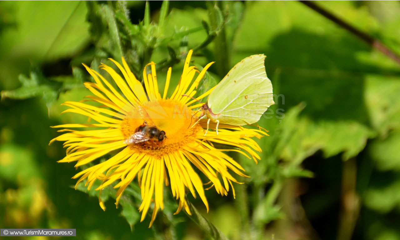 65_Musca-&-fluture-pe-Telekia-sp