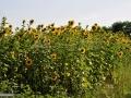 03-Lan-de-floarea-soarelui.jpg