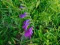 01-Gladiola-salbatica.jpg
