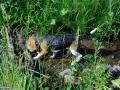 20-Pui-Beagle-tricolor.jpg