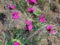 24-Garofite-salbatice.jpg