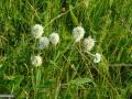 25-Trifolium-montanum.jpg