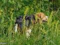 26-Pui-Beagle.jpg