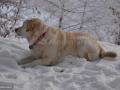 13-Labrador-Brena