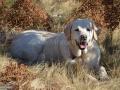 19-Labrador-Brena