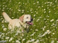 Labradorul Brena