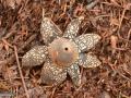 01-Ciuperca-stea