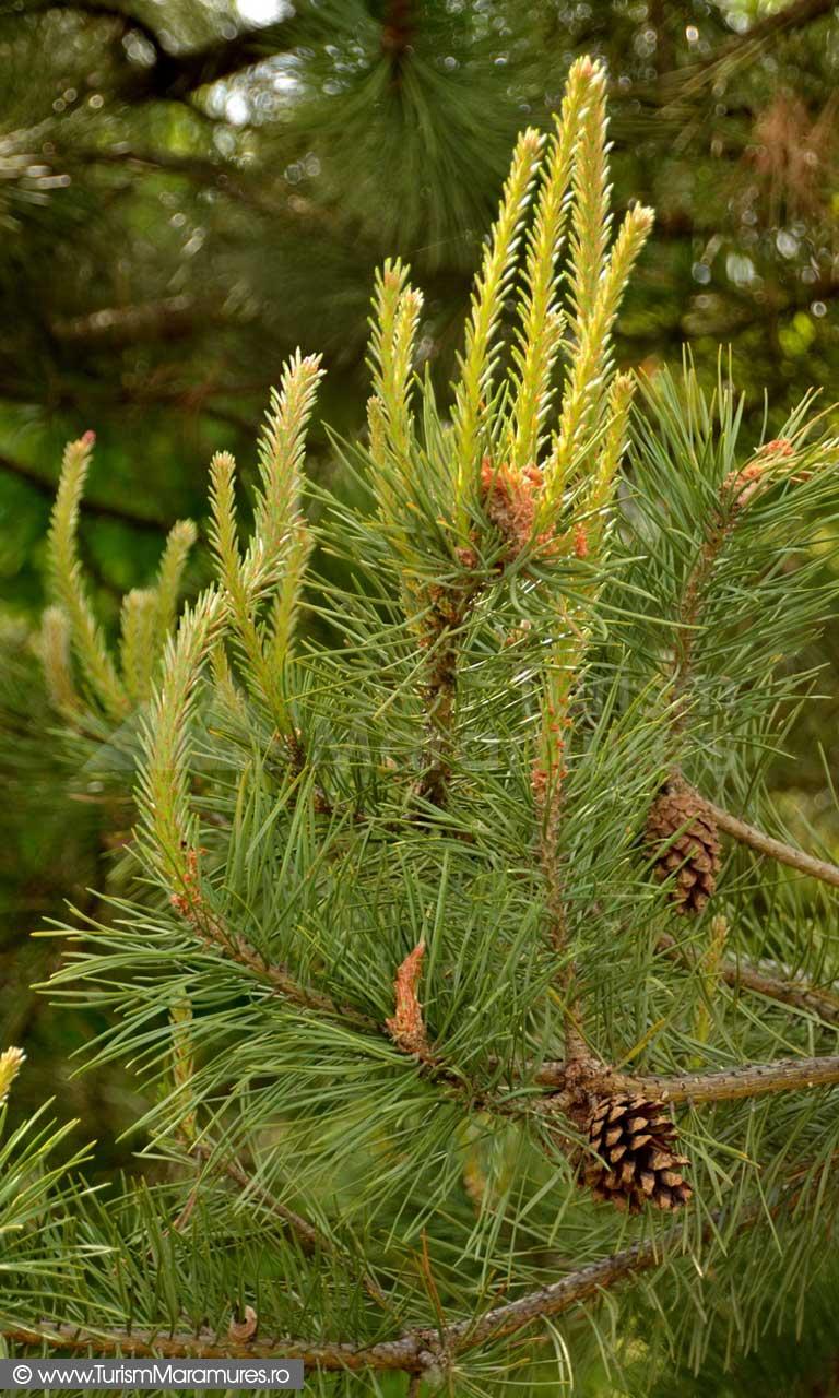 11_Lastari-de-Pinus-sylvestris