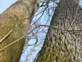 25-Quercus-robur-stejari-pedunculati