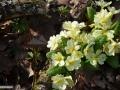 32-Primula-vulgaris