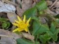 45-Ranunculus-ficaria-untisor