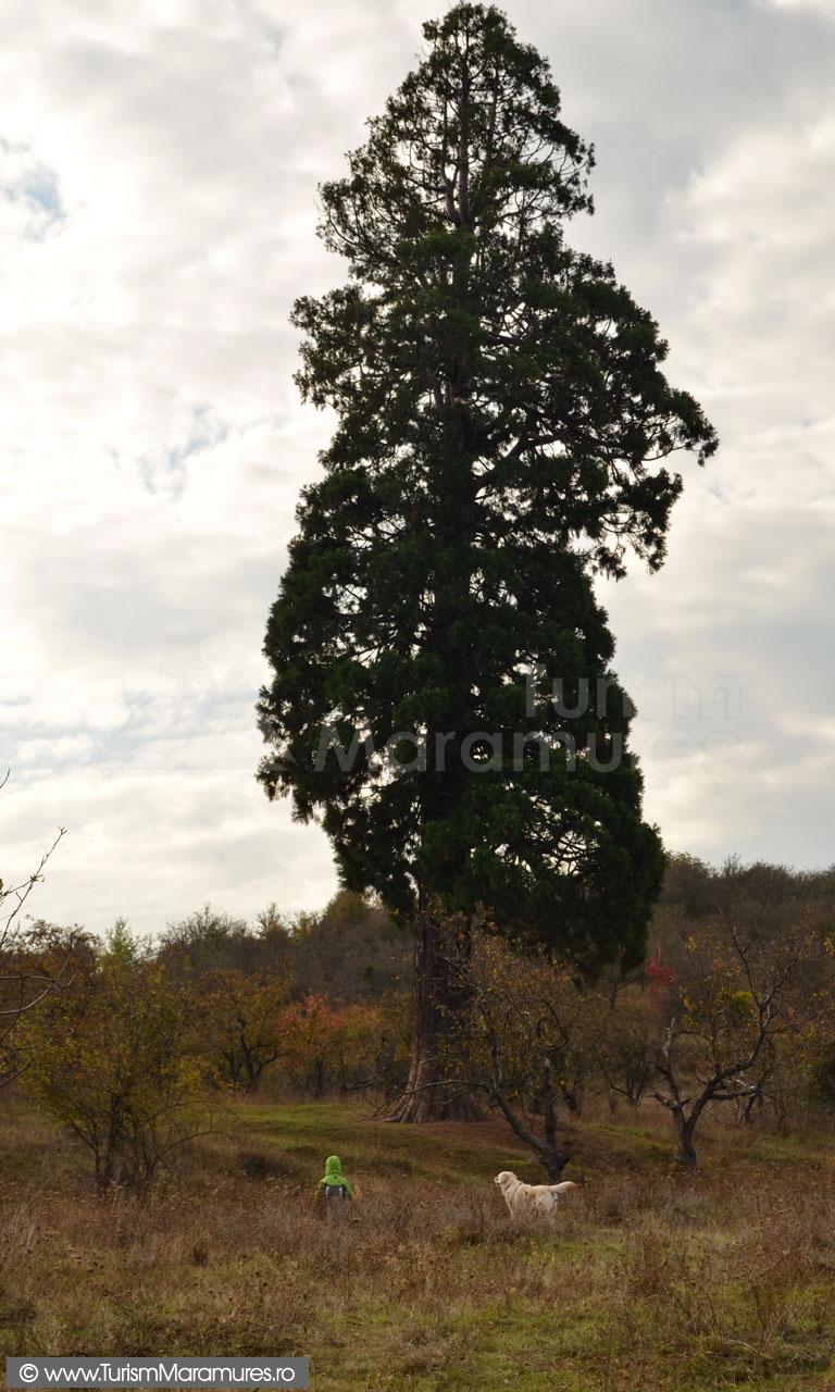 14_Arborele-Sequoia-din-Ardusat-Maramures