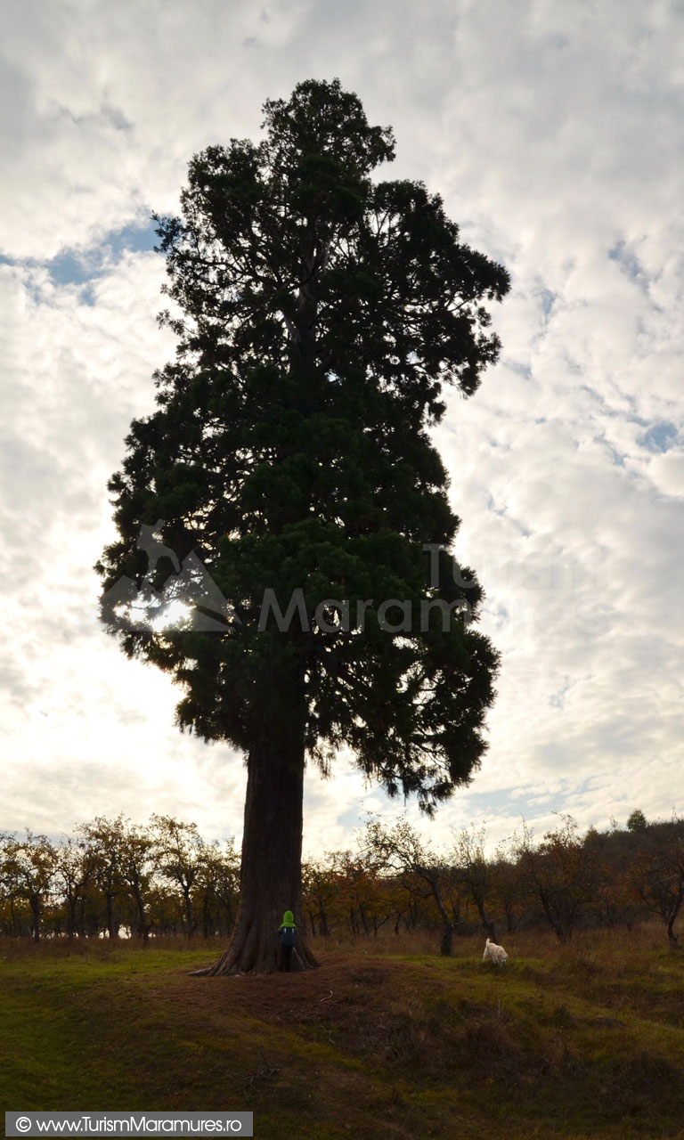 15_Arborele-Sequoia-din-Ardusat-Maramures