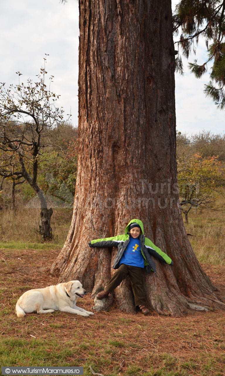 16_Arborele-Sequoia-din-Ardusat-Maramures