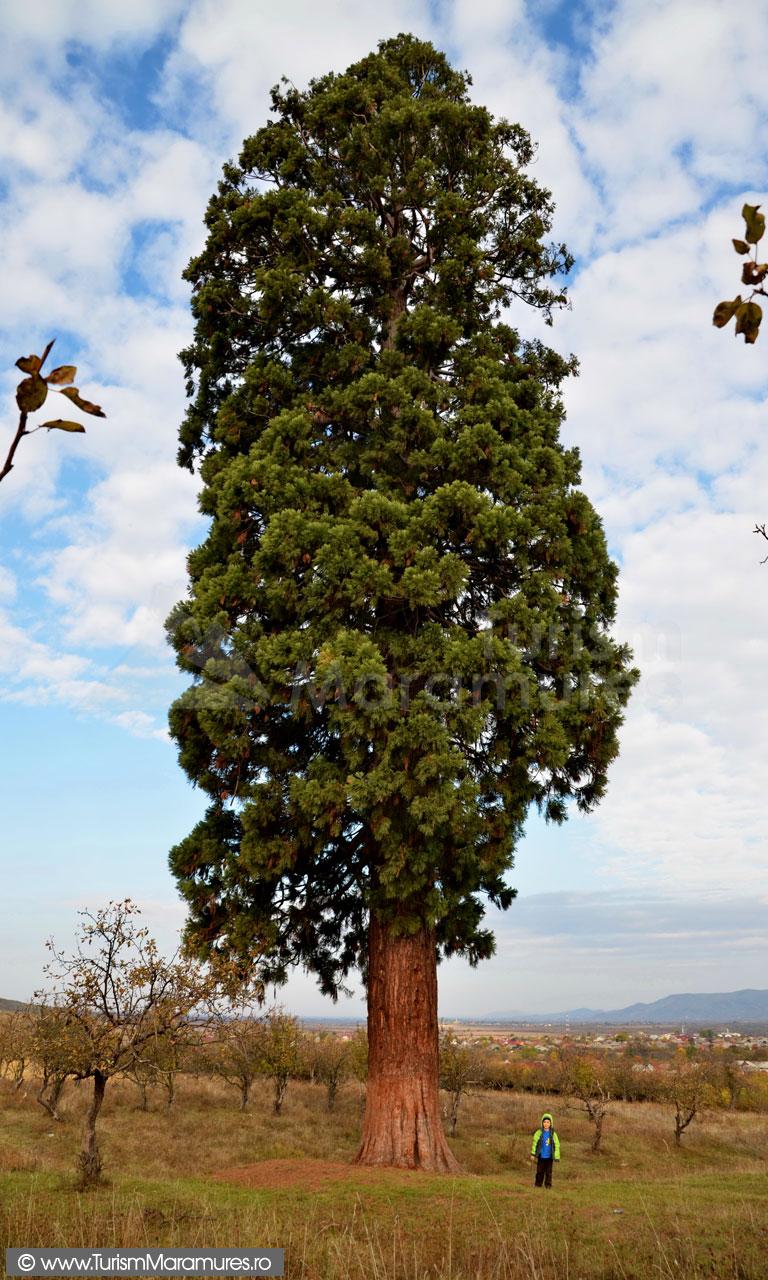 17_Arborele-Sequoia-din-Ardusat-Maramures