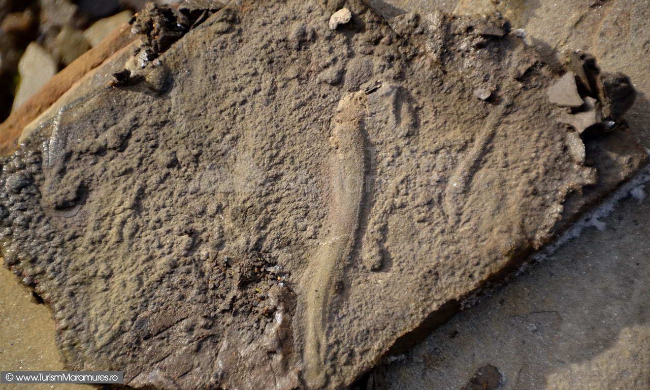 24_Marna-cu-fosila-de-triton