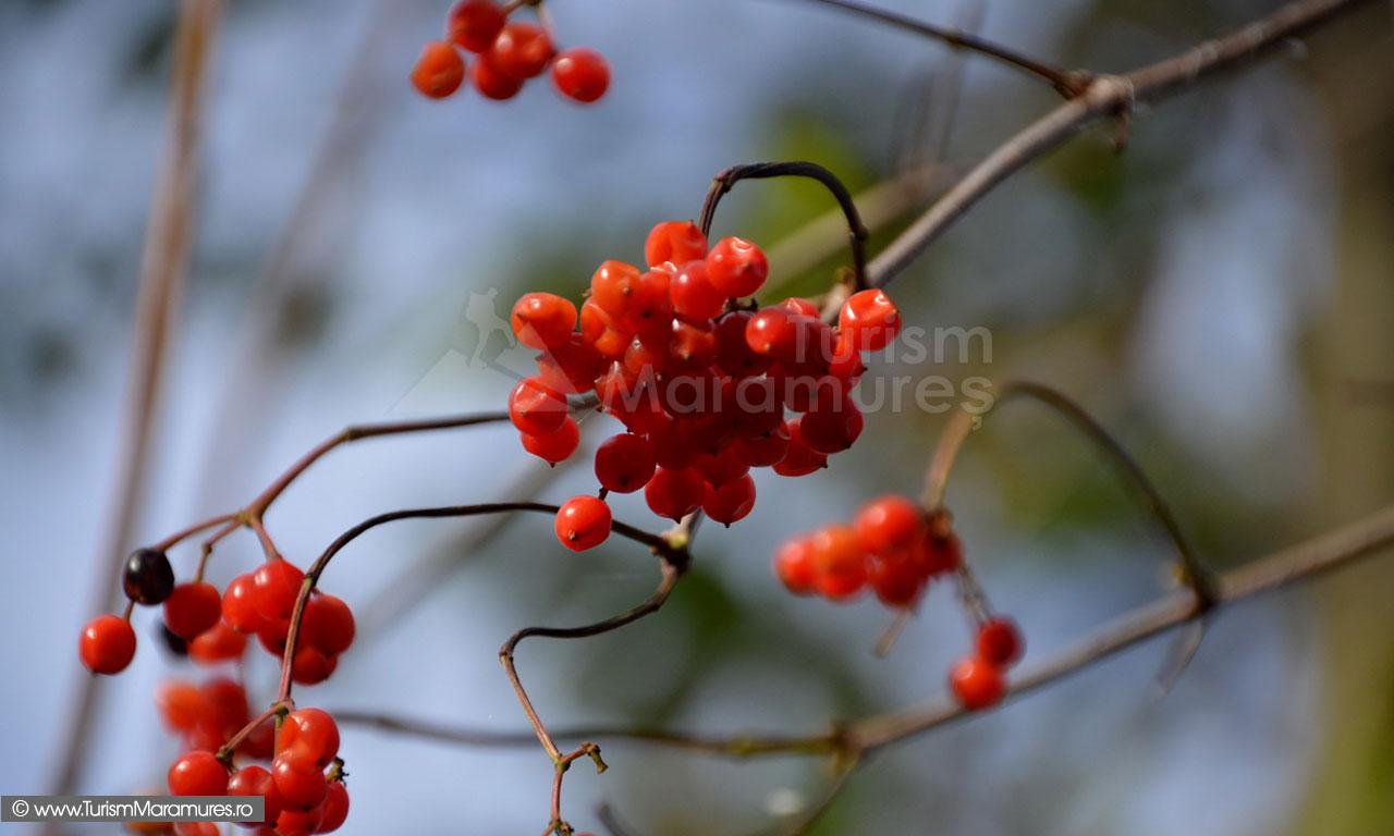 28_Rubinele-toamnei-pe-Rau-Mare-Budesti