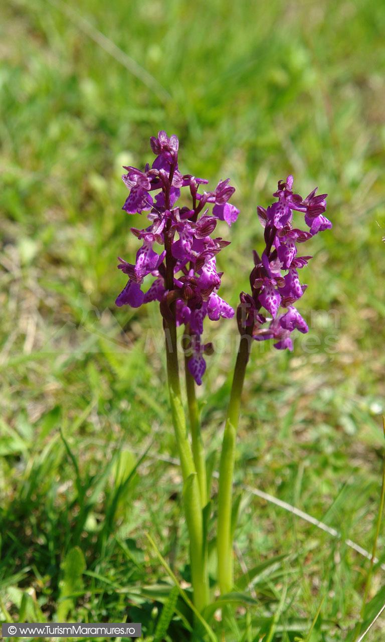 30_Orhidee_Orchis-morio_Poroinic