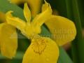 08_Iris-pseudacorus