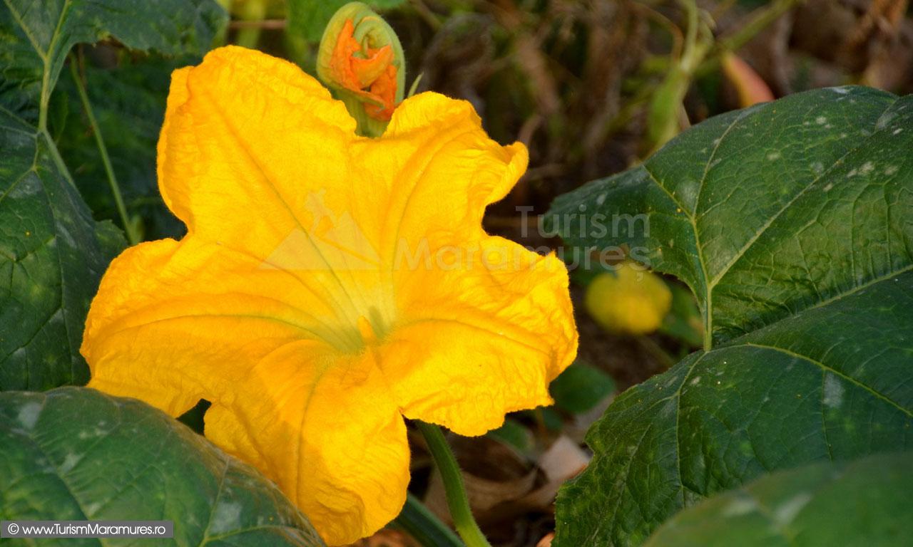 21_Floare-de-dovleac