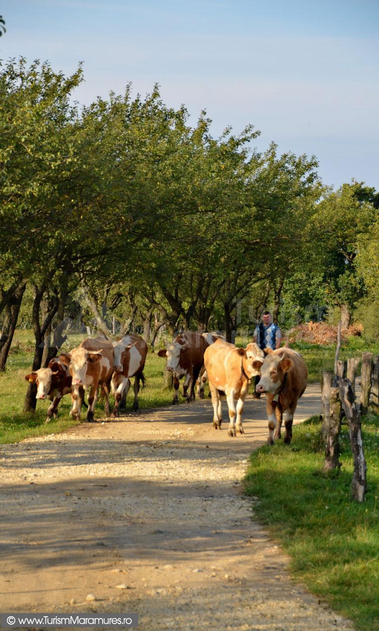 27_Codru-Butesei-scosul-vitelor-la-pasune