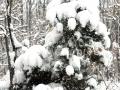 07-Molid-pin-zapada-ninsoare
