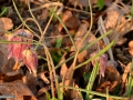 34-Lalele-pestrite