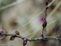 Liliac-salbatic_Piperul-lupului_Daphne-mezereum