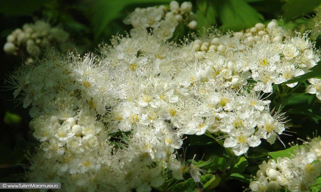 48_Arbust-in-floare