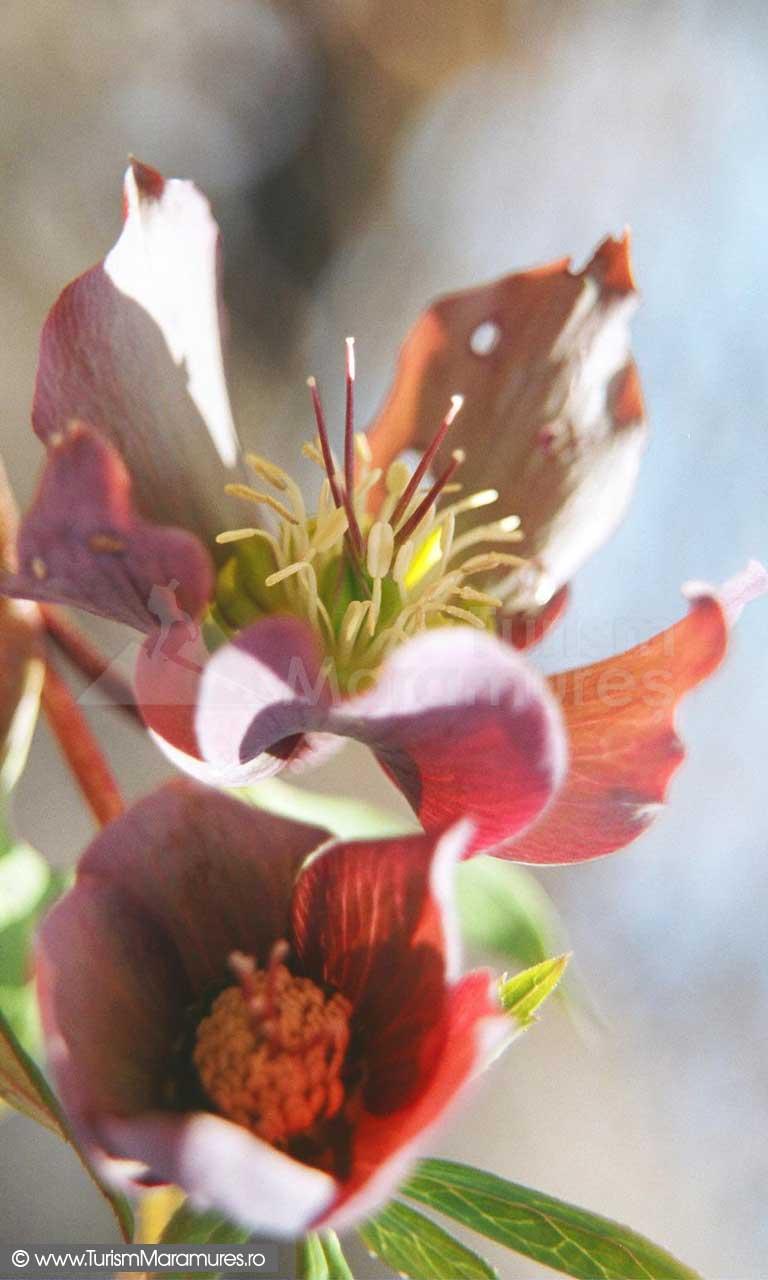 Spanz_Helleborus-purpurascens