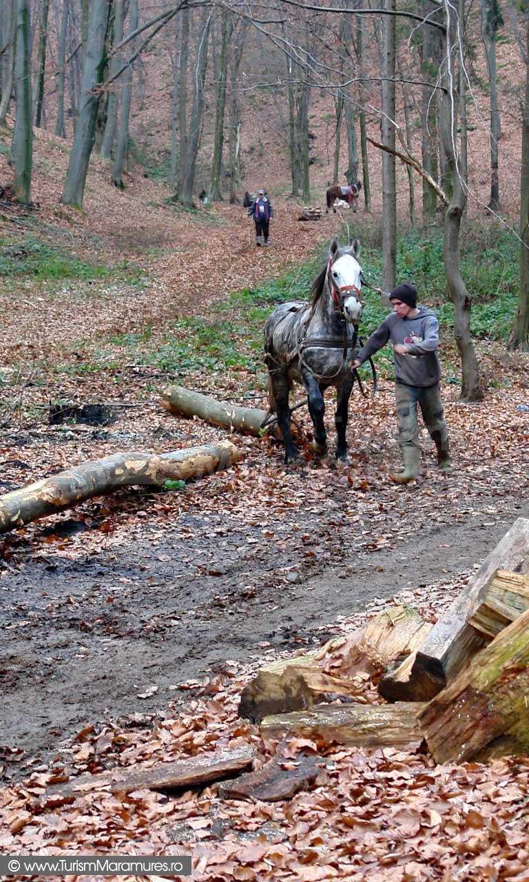 Trasul bustenilor cu caii