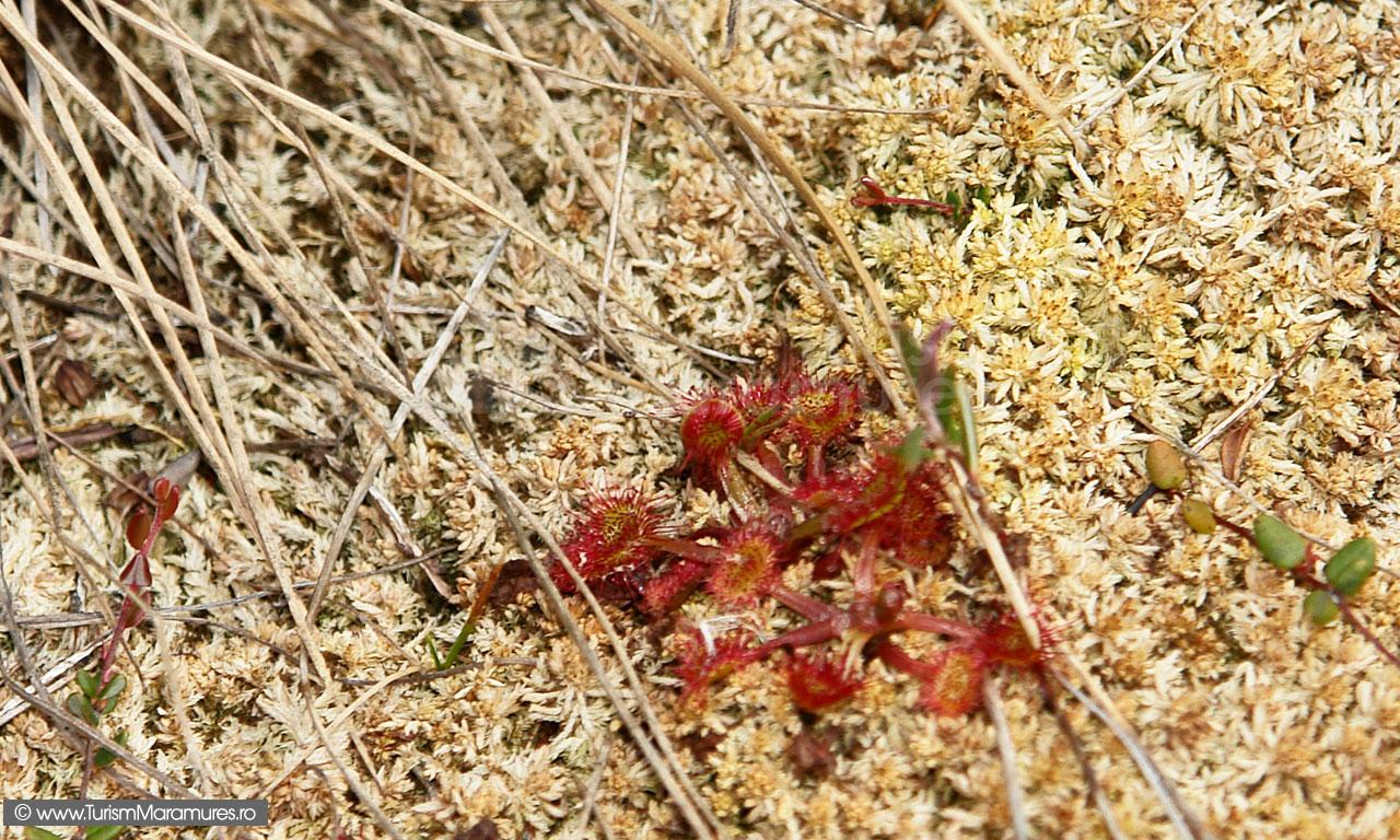 26_Drosera-rotundifolia_Roua-cerului_planta-insectivora