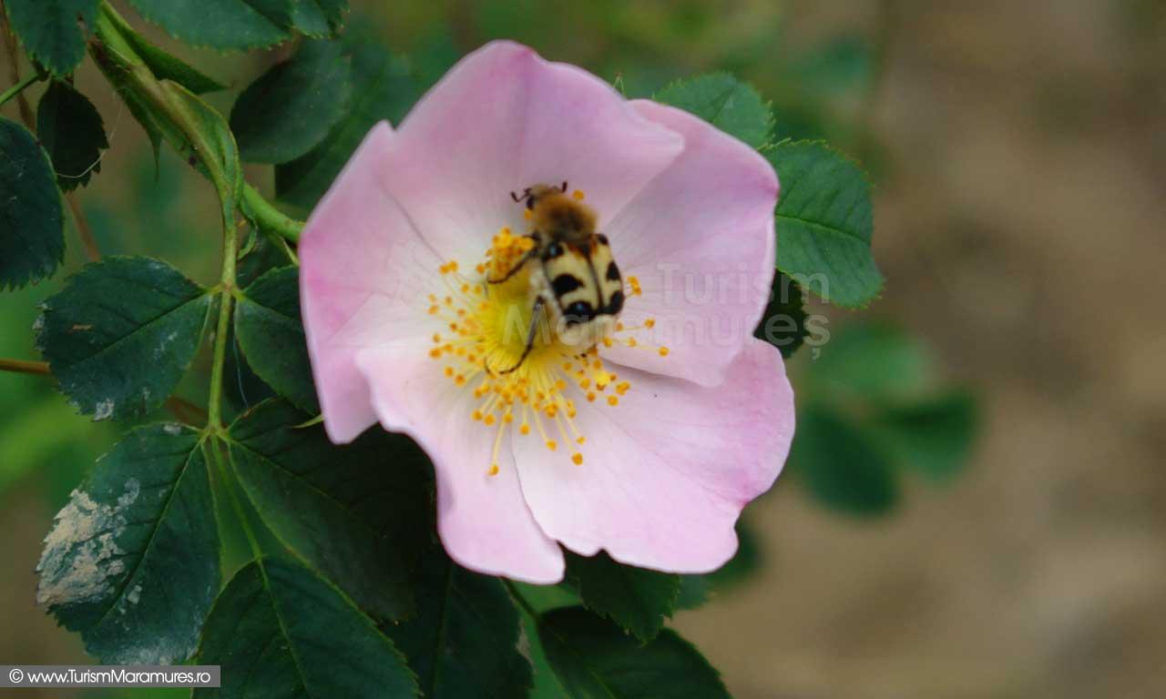 Floare de maces