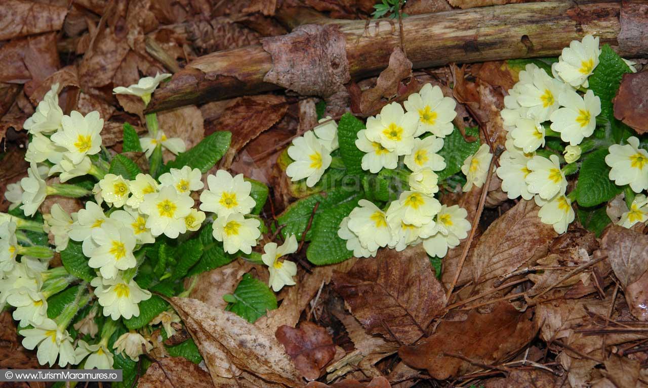 03_Primula-vulgaris_Ciubotica-cucului