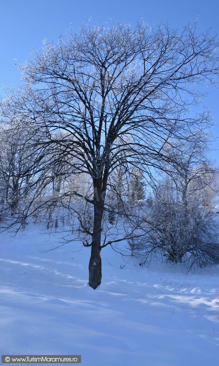 Paltin-iarna-Muntii-Ignis