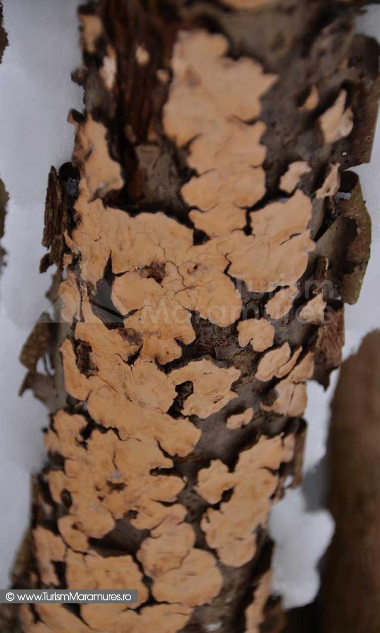 Lichenii alunului