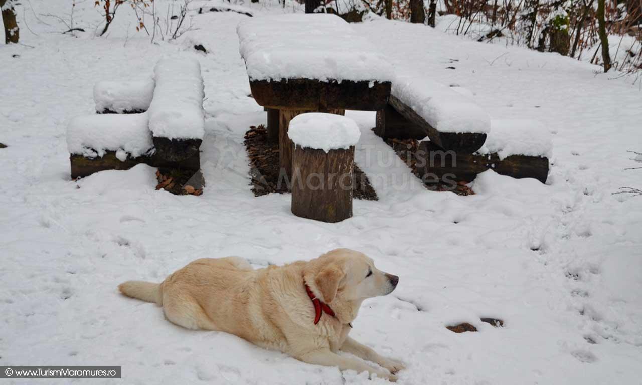 Labrabor iarna