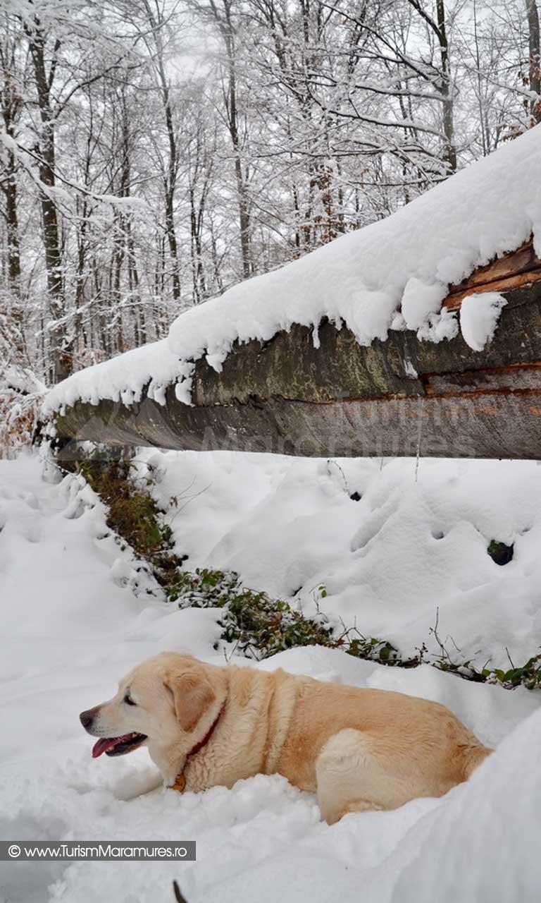 Labrabor iarna_01