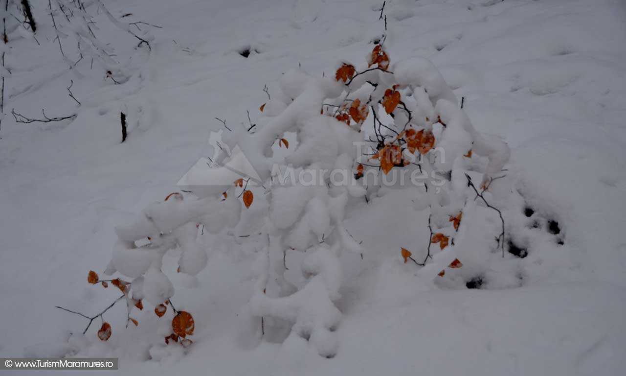 Pui de fag iarna