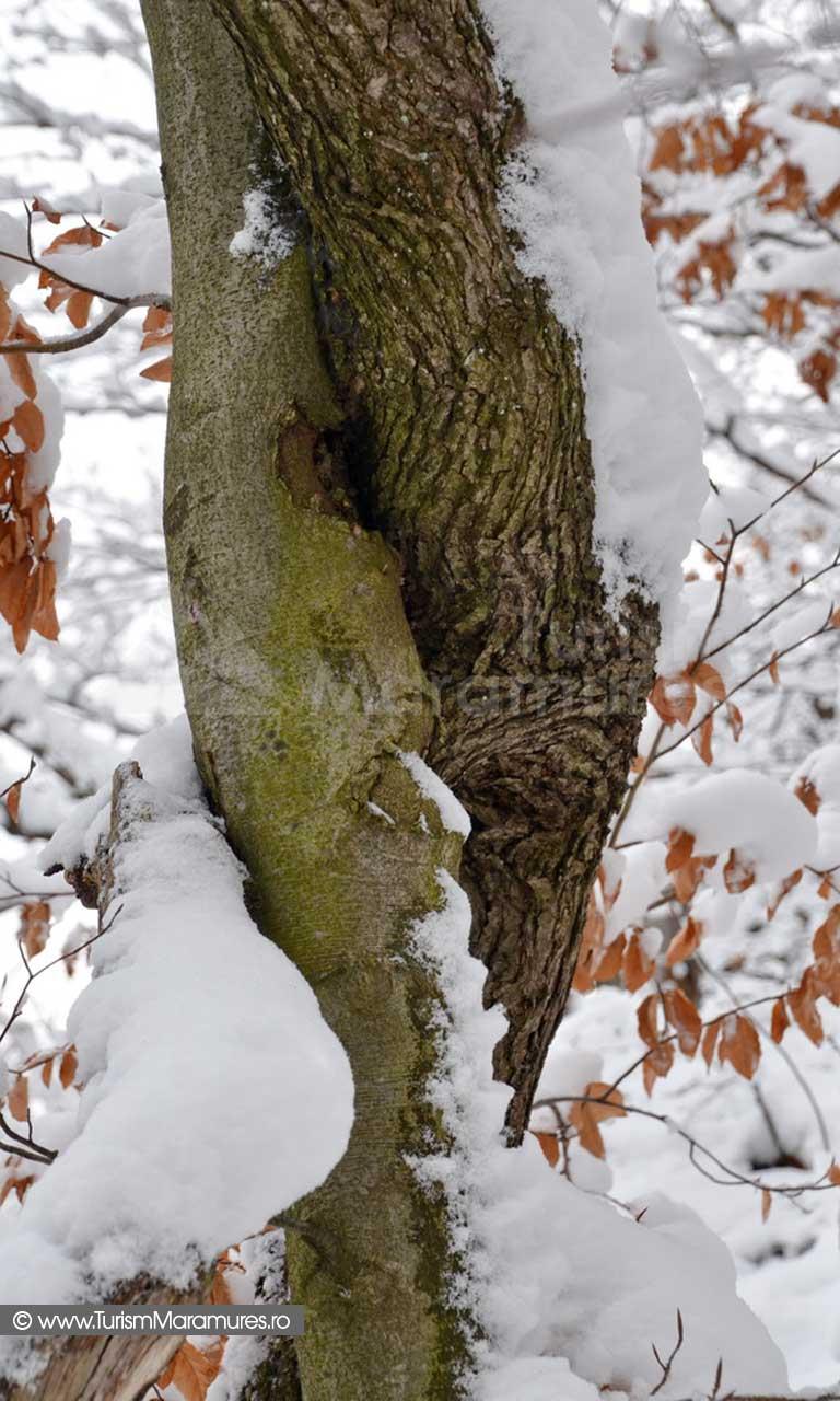 Trunchi de copac iarna Maramures