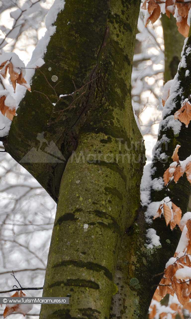 Trunchi de copac iarna Maramures_01