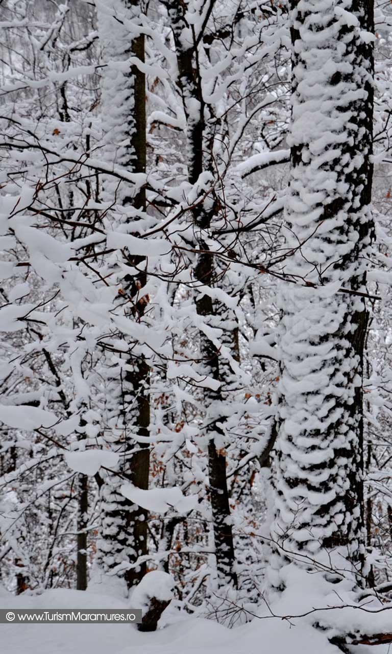 Trunchi de gorun iarna