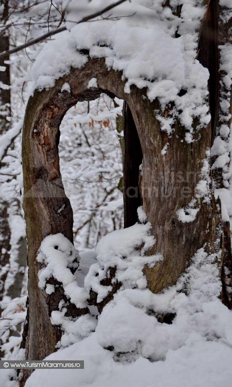 Trunchi stejar iarna Maramures