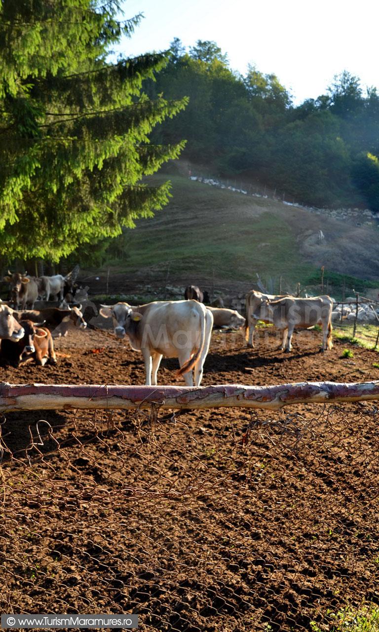 10_Stana-de-vaci-in-Muntii-Maramuresului