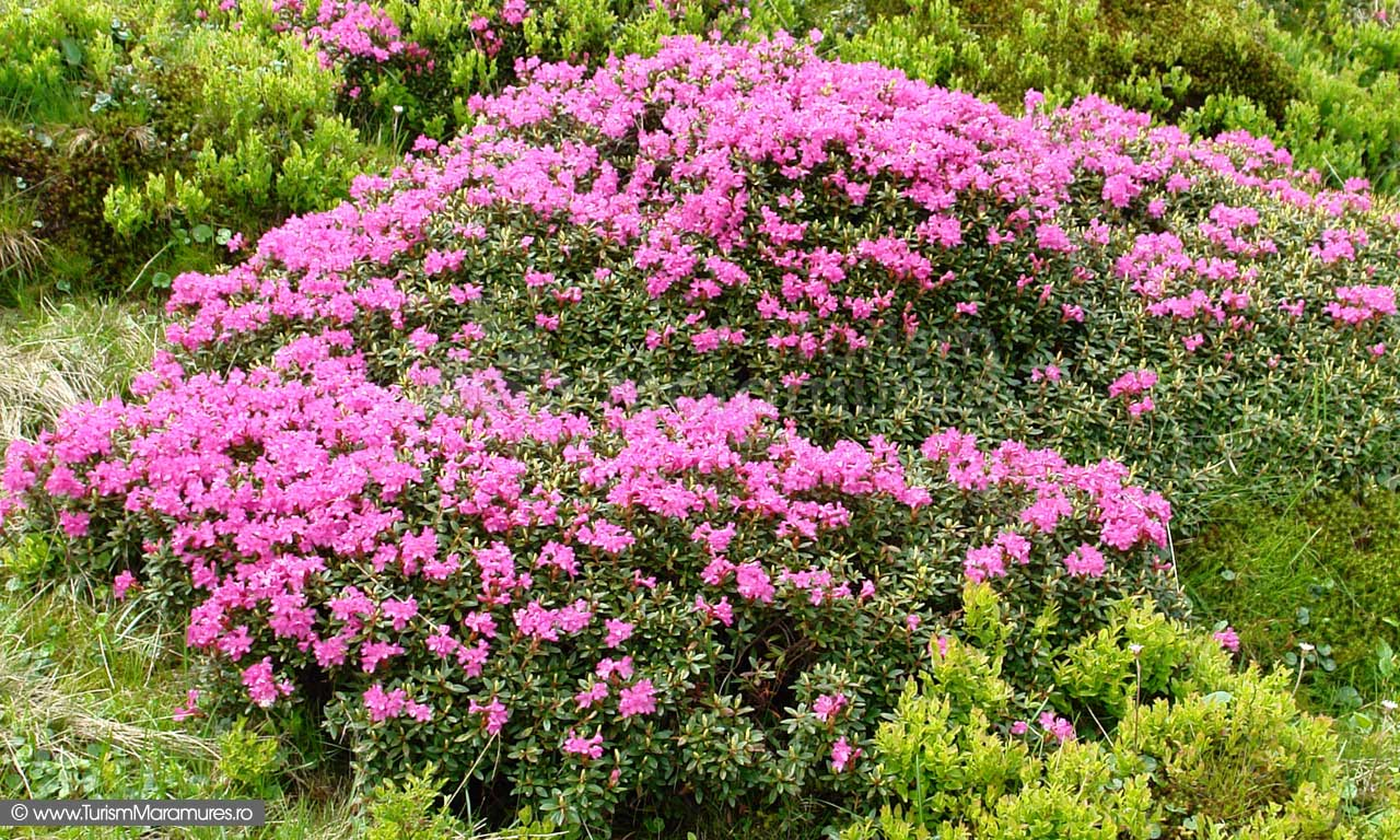 24_Rododendron