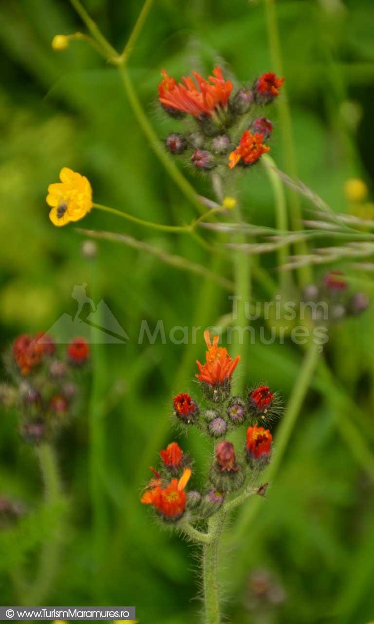 06_Ruscuta_Hieracium-aurantiacum