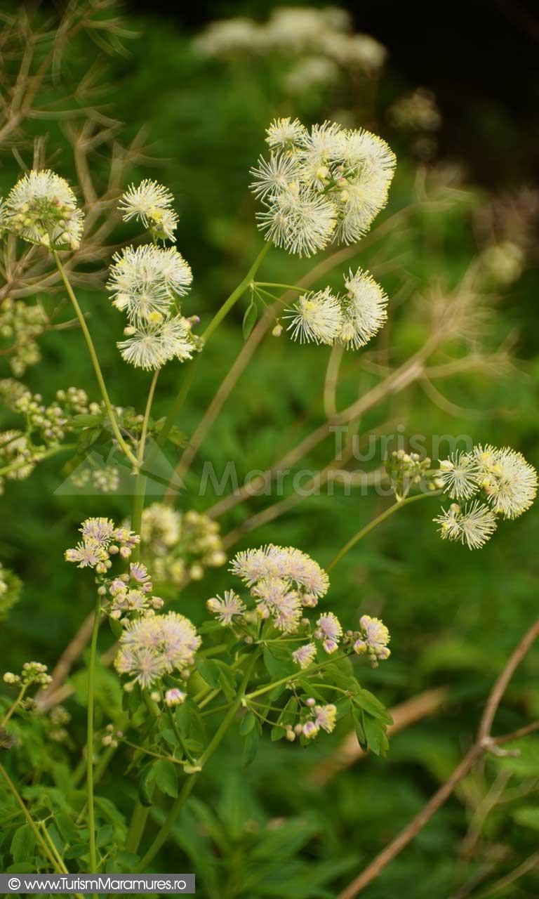 23_Thalictrum-aquilegiifolium_Rutisor