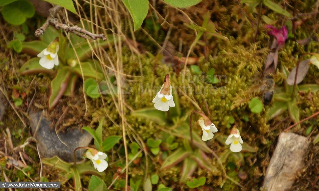 26_Pinguicula-alpina_Foaie-grasa