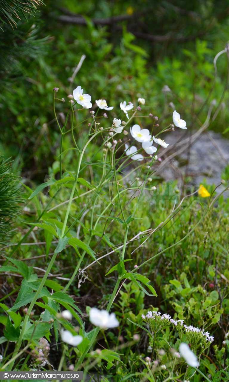 33_Ranunculus-platanifolius